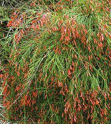 photo of Russelia equisetiformis - Firecracker Plant or Coral Plant