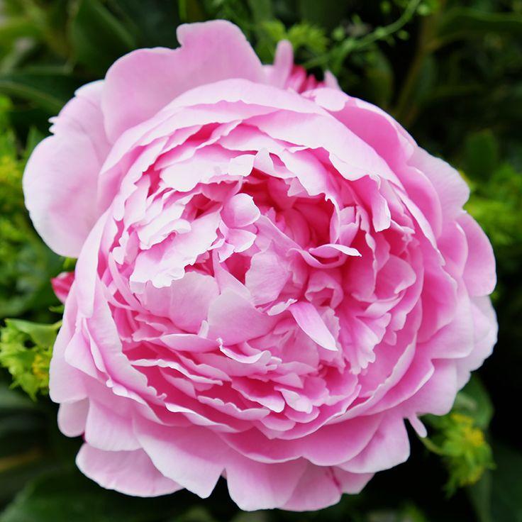 Ramo de Peonías Rosas | Floristería Bourguignon #peony #bouquet