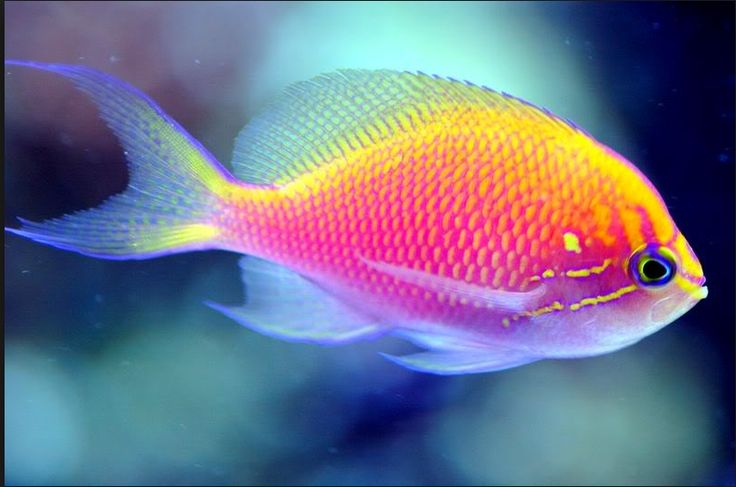 Best 25 tropical fish ideas on pinterest fish colorful for Community saltwater fish