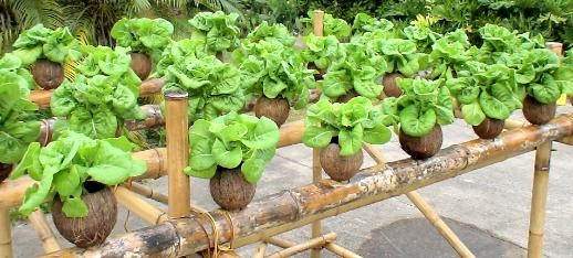 Coconut Hydroponics A Real Hydroponic System In Fiji Made