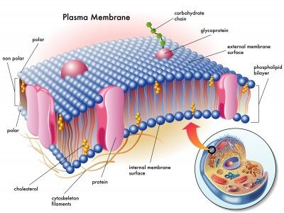 Plasma Membrane; Structure - two lines that are separated by a narrow light space; Function - It prevents the escape of cell contents, regulates exchange of materials between cytoplasm and extracellular fluid