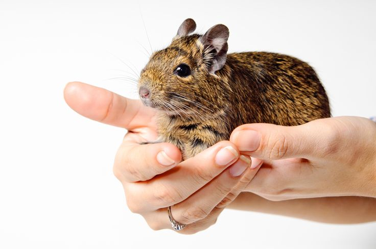 If you're worried about your degu getting bored in his cage, we've found 9 simple ways to help you keep your degu enriched! Come on in!