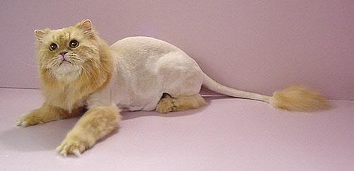 Lion cut cat, this is what my foster cat Charlie looks like!