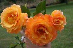 Las rosas naranjas: denota entusiasmo y deseo pasional.
