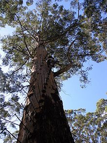 The Karri tree is the worlds third tallest tree!