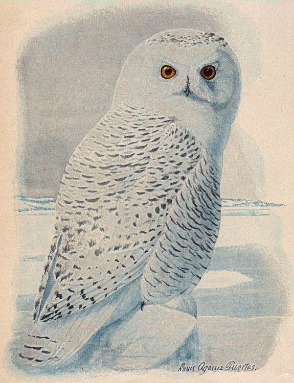 Free Clip Art - Snowy Owl - The Graphics Fairy #Printable #Vintage