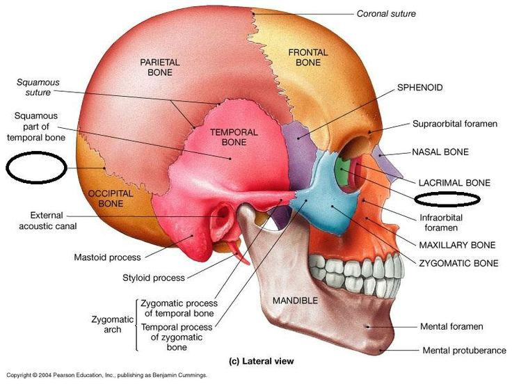 "sphenoid bone: an irregular bone; ""wedge like"" an unpaired cranial bone in the front middle of the skull in front of the temporal bone; one of the 7 bones that articulate to form the orbit; its shape resembles a butterfly or bat"