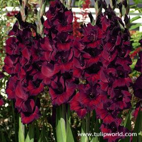 "Image Black Star Large Flowering Gladiolus These giant gladiolus will make a striking statement in your summer garden! Blooming with a deep red, almost black color, these flowers will be sure to catch the onlookers eye. The flower stems can hold as many as 10-14 blooms and grow between 36 and 48 inches tall, making a nice backdrop for other lower growing plants. Height: 36-48""	Bloom Time: Mid Summer"