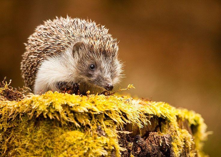 Photograph Hedgehog by Robert Adamec on 500px