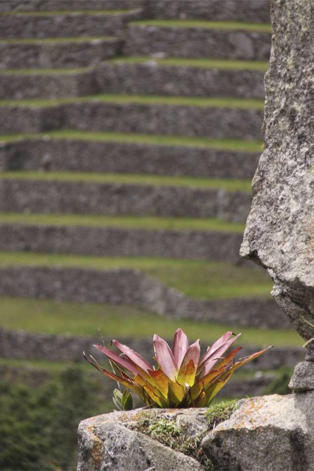 Machu Picchu, Peru: Bromeliad