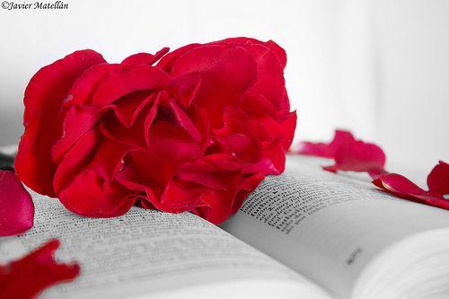 La rosa del amor https://www.facebook.com/FotoGaleriaJaviMatellan