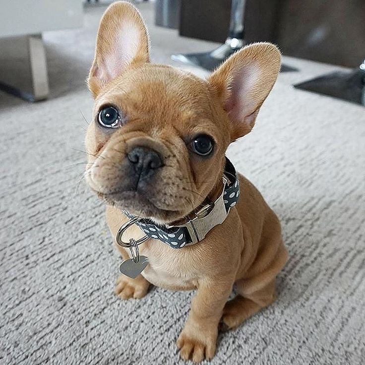 Kylo, the French Bulldog Puppy, Frenchie