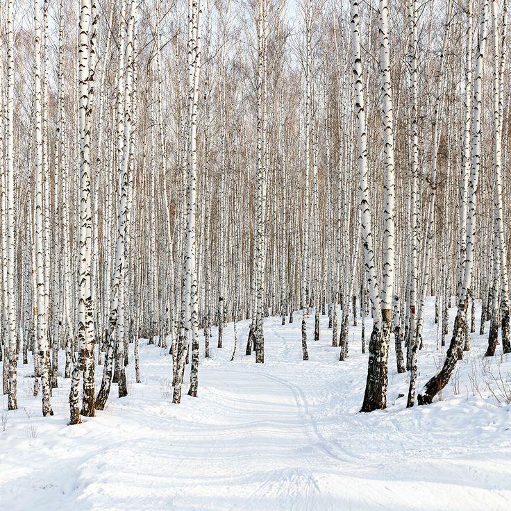 Fototapete Birkenwald-Spuren im Schnee - Wallprints.com
