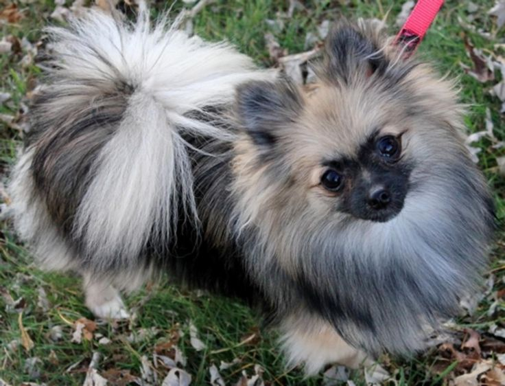 I have seen pictures of Wolf Sable Poms before, but never one that looks like a little keeshond. It is perfect and I need it!!!!!