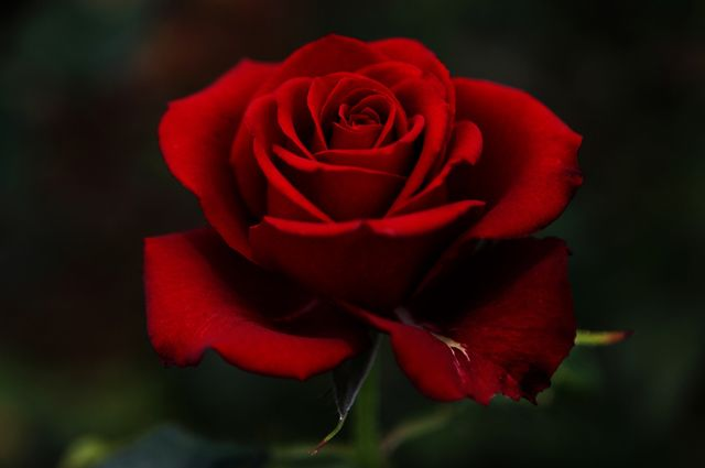pictures of beautiful roses