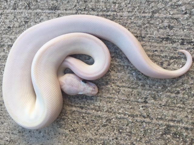Snakes at Sunset - Blue Eye Leucistic Ball Python for sale (Python regius), $349.99 (http://snakesatsunset.com/blue-eye-leucistic-ball-python-for-sale-python-regius/)