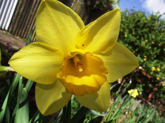 Yellow Daffodil  Flower / Scenic New Zealand / by KarenLawsonArt