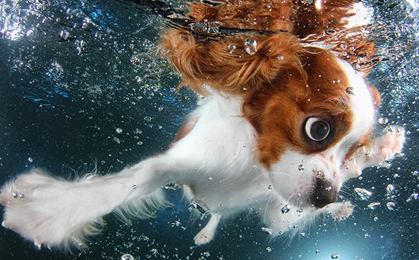 With a wingspan that rivals Michael Phelps, Monty the King Charles Cavalier is going for gold (or at least a Milk-Bone).