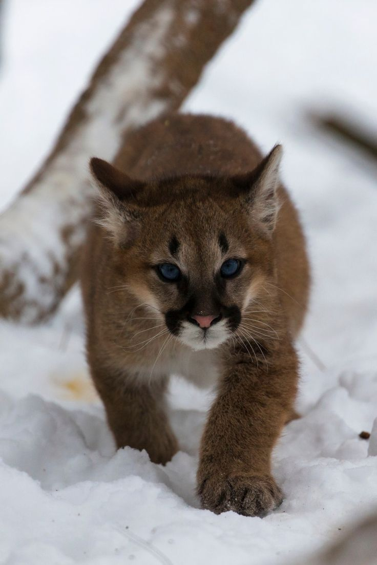Baby Cougar - null