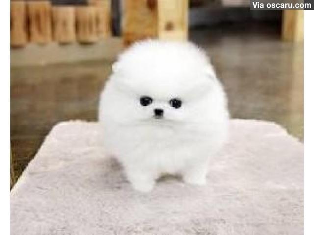 1000+ ideas about Pomeranian For Sale on Pinterest | Teacup ...
