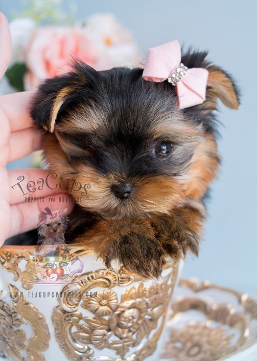 Beautiful Teacup Yorkie puppy for sale by TeaCupsPuppies.com of South Florida