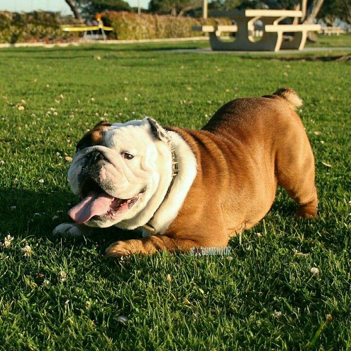 Bambino, English Bulldog (3 y/o), Chula Vista Marina