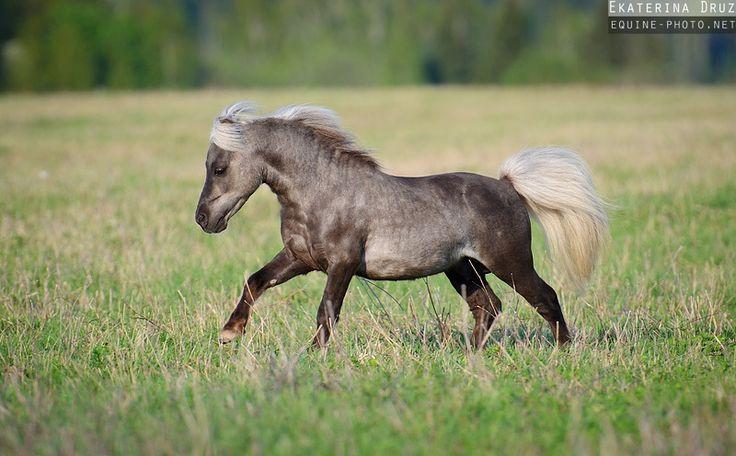 dapple gray pony - miniature horse - Equine Photography by Ekaterina Druz