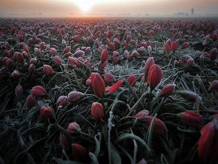 Тюльпановые поля. Обсуждение на LiveInternet - Российский Сервис Онлайн-Дневников