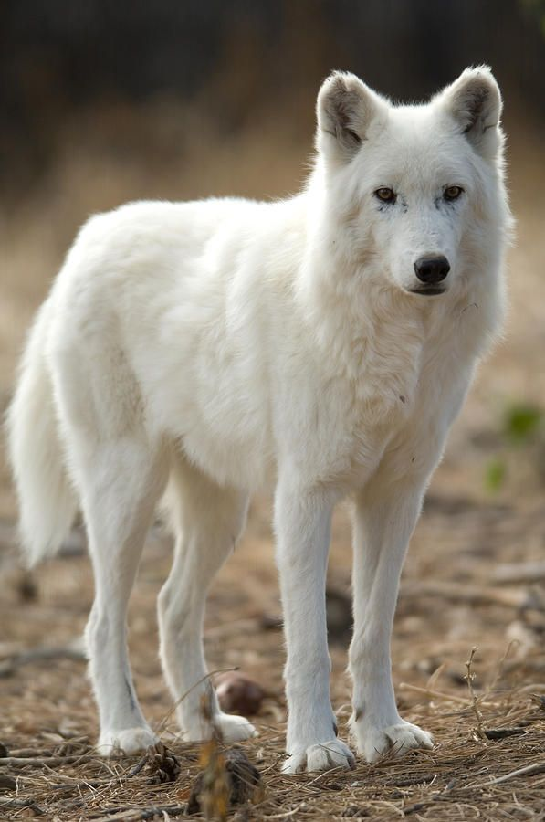 nature-planet: Arctic Wolf - by Joel Sartore
