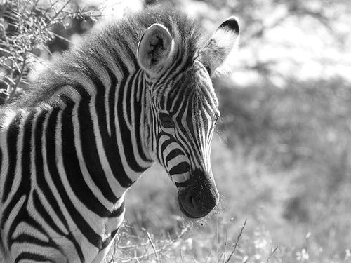 Baby Zebra, I am gonna melt