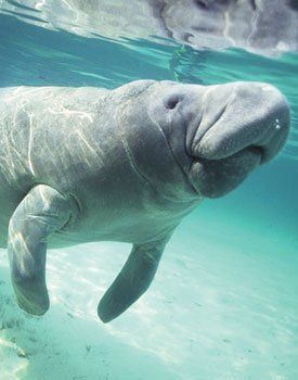 Manatee Observation Center, Vero Beach, Fl. 480 North Indian River Drive, Fort Pierce (772) 466-1600  |  www.manateecenter.com