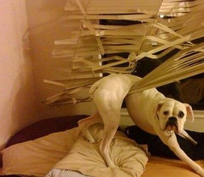 """This would be my boxer Layla for sure...""""Oh!..Man...Glad you're home! I was just lying there, minding my own business when these blinds just JUMPED me....help?"""""""
