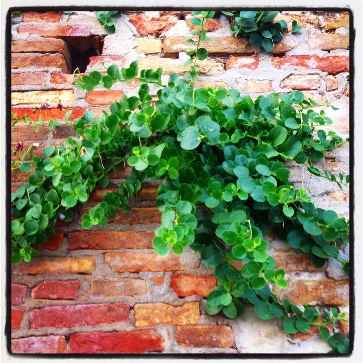 Cappero @oltreilbalcone #green #oltreilbalcone #wild