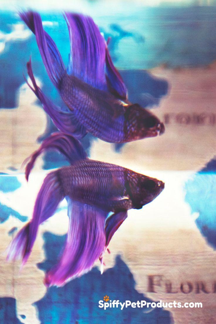 Betta Fish Tank Setup Ideas That Make A Statement Spiffy Pet Products In 2020 Betta Fish Betta Fish Tank Fish Tank