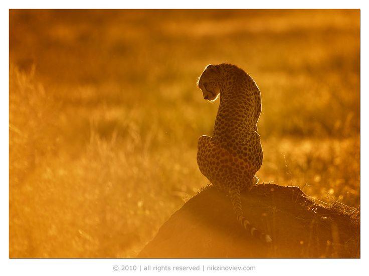 #гепард #дикие животные #африка #саванна #серенгети #танзания #николай зиновьев Photographer: Николай Зиновьев