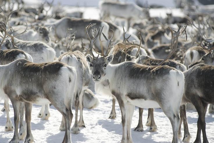 Reindeer, me like!