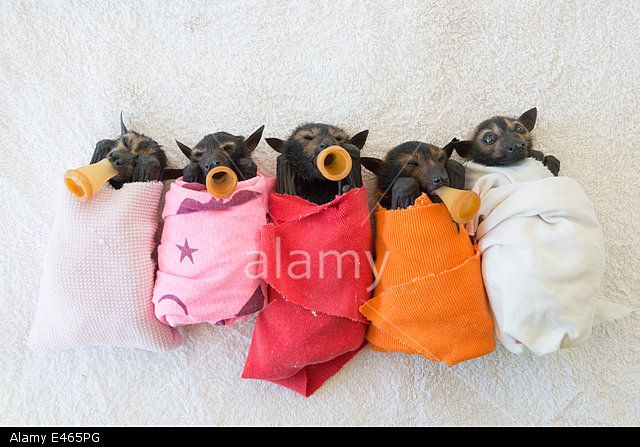 Spectacled flying fox (Pteropus conspicillatus) babies or bubs wrapped in cloth and teats in mouths ready for feeding in the nursery at Tolga Bat Hospital, North Queensland, Australia, November 2012