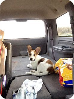 Border Collie/Cardigan Welsh Corgi Mix Puppy for adoption in Sioux Falls, South Dakota - Olaf