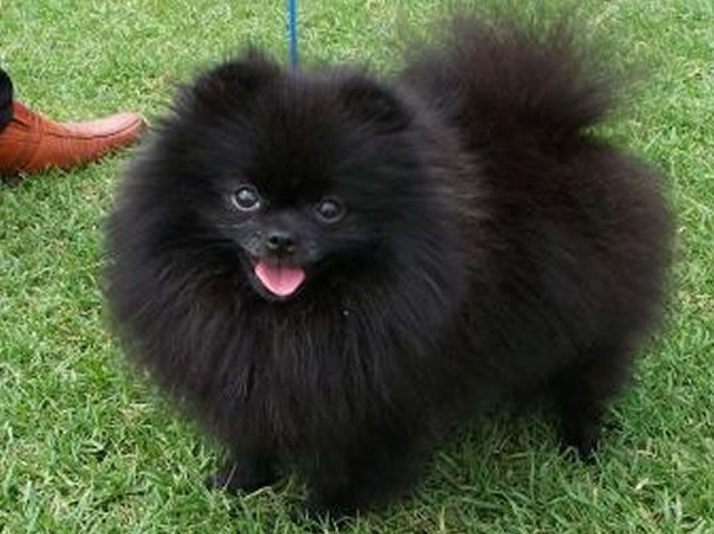Different Sizes of Pomeranians | Pomeranian Colours | Too ...
