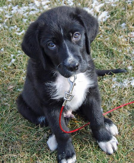 Great Pyrenees Chocolate Lab Mix Puppies