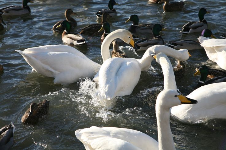 Swans eating bread