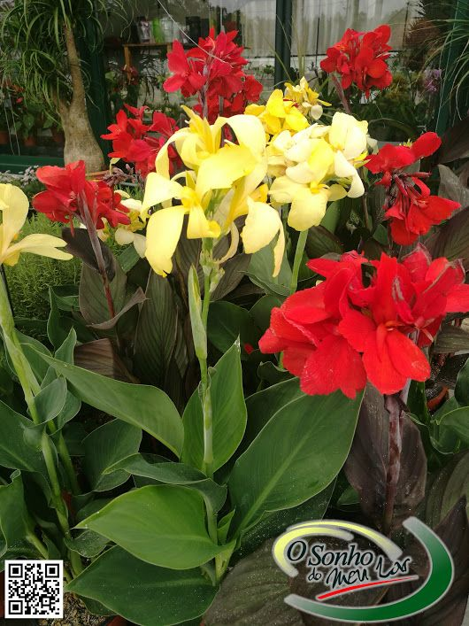 CANNA INDICA TROPICAL