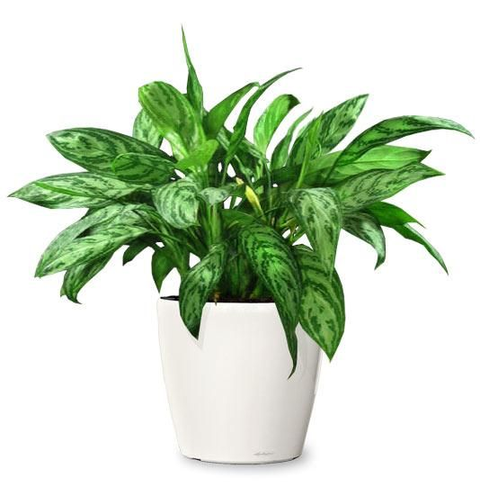 Chinese Evergreen (pictured), peace lily, or pothos are good indoor plants that don't need much light