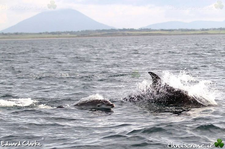 Baby dolphin at Enniscrone Co Sligo Ireland