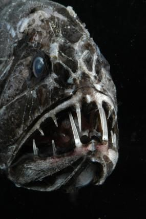http://ocean.si.edu/slideshow/creepy-critters-marine-life-surfaces-halloween#at_pco=smlwn-1.0&at_si=549e8b9c6120fc71&at_ab=per-2&at_pos=0&at_tot=1 Fangtooth: . Vreemdelingen, monsters, en spookachtige verschijningen in de nacht gloeien. Mariene levensvormen hebben een aantal van de beste looks voor Halloween-geen kostuums nodig. Van freaky vis op de loer onder de oppervlakte om griezelige beestjes van de diepe, voldoen aan een aantal van de vreemdste en meest beklijvende personages van de…