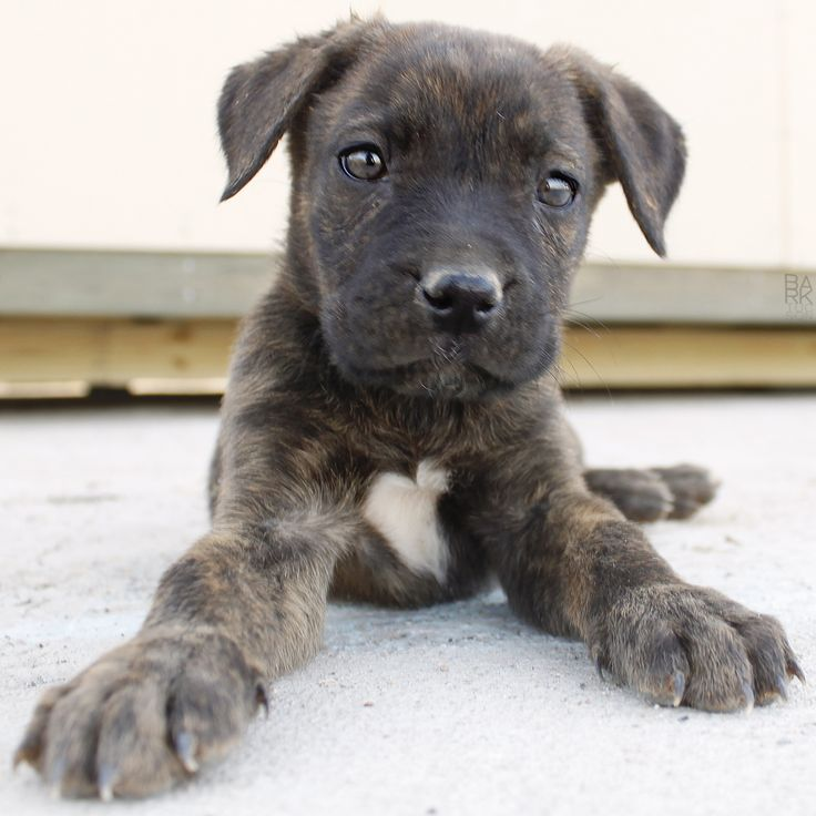 Boxer Shepherd Mix
