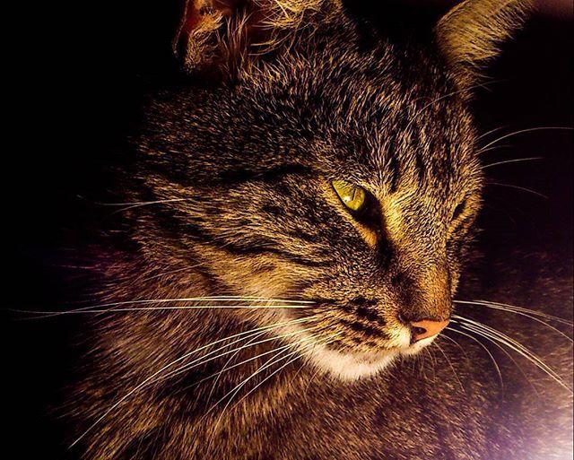 #Tomescu #cat #feline