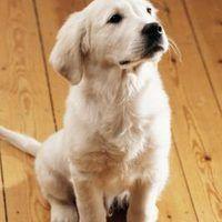 Can Dog Pee Bleach Carpet