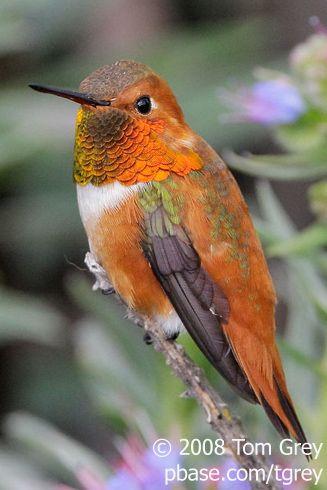 Hummingbird - Mighty Puffball | BirdNote