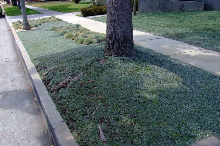 drought tolerant with curb